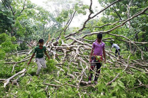 نوجوانان بنگلادشی در جستجوی پرندگان مرده از شاخسار درختان  سرنگون شده پس از یک توفان مهیب