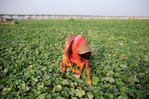 زن کشاورز هندی در حال چیدن کدو از مزرعه – الله آباد