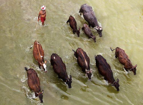 عبور دادن گاو از عرض رودخانه – الله آباد هند