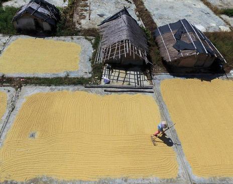 پهن کردن برنج درو شده – چین