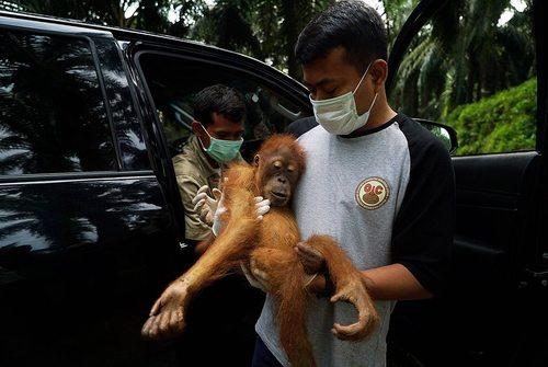 نجات یک بچه اورانگوتان و مادرش – سوماترای اندونزی