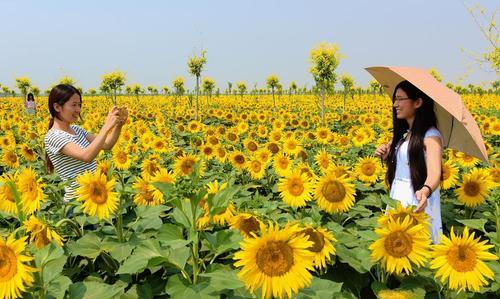 یک مزرعه گل آفتابگردان در شهر هِنگشوی در شمال چین