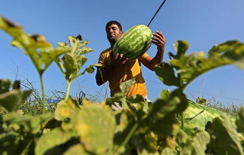 برداشت هندوانه از زمینی زراعی در منطقه بیت لاحیا در شمال باریکه غزه