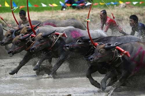 مسابقات سالانه بوفالو رانی در تایلند