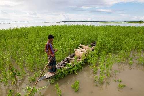 نجات گوسفندها و بره هایشان از سیل – بنگلادش