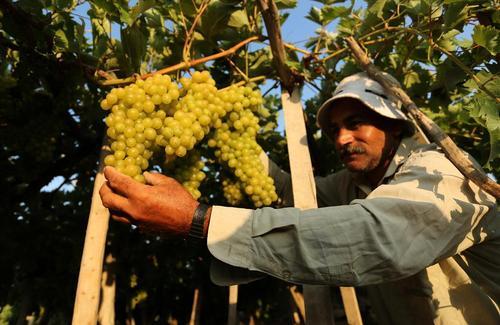 برداشت انگور از تاکستان ها در باریکه غزه