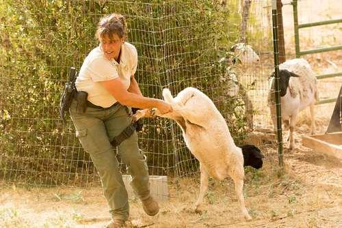 مقاومت یک گوسفند در برابر تلاش امدادگران برای نجات احشام از آتش سوزی جنگلی رو به گسترش در منطقه