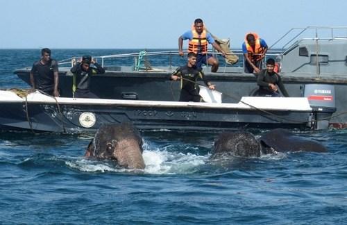 شنای فیل ها در آب های اقیانوس هند در سواحل سریلانکا