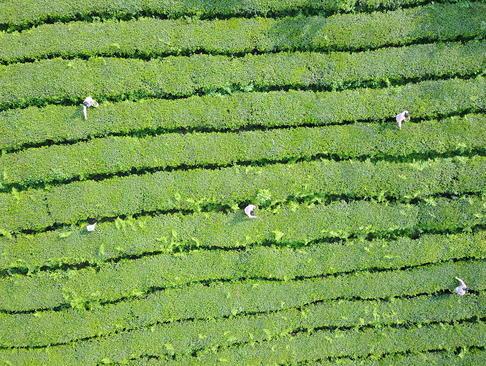 یک مزرعه چای در چین