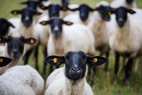 گله های گوسفند مشغول چرا در علفزارهای ایالت بایرن آلمان
