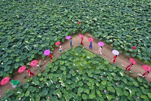 مزرعه گل نیلوفر آبی در چین