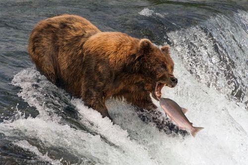 ماهی خوری خرس ها در رودخانه های آلاسکا