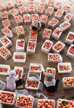 باغداران چینی در حال بسته بندی هلو برای ارسال به بازار