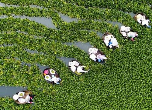 کشاورزان چینی در حال جمع آوری کلم بروکلی