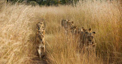 شیرهای ماده در سافاری پارک زامبیا