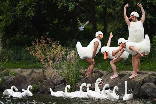 پوشیدن لباس قو از سوی یک گروه رقص باله انگلیسی – ادینبورگ