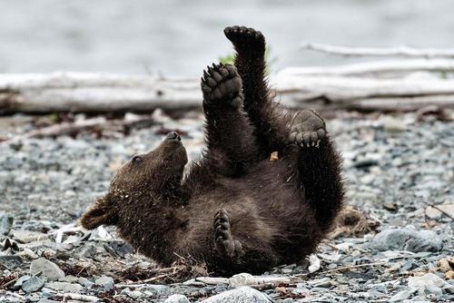 خرس قهوه ای در آلاسکا