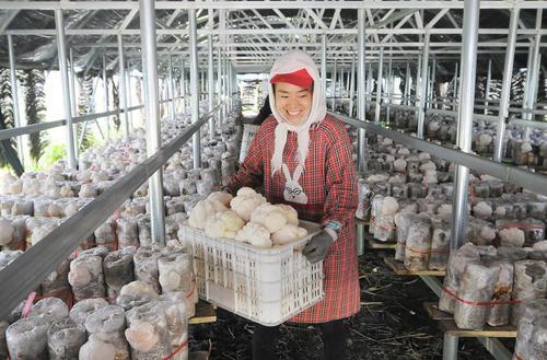 یک مزرعه کشت قارچ در هایلین چین