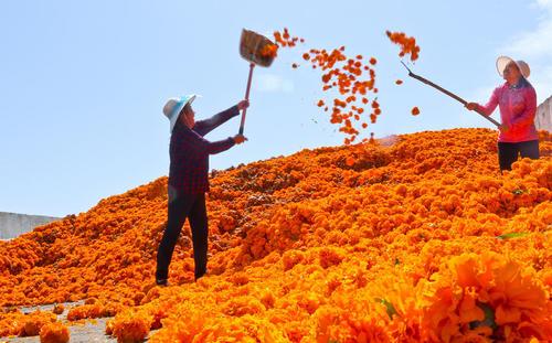 جمع آوری گل های داوودی در استان جانسو در شمالغرب چین
