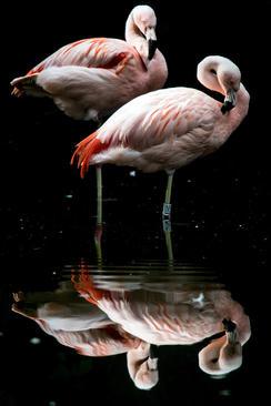 فلامینگوهای باغ وحش دویسبورگ آلمان