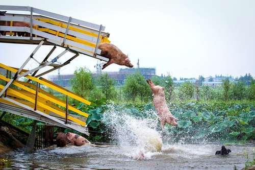 یک مزرعه پرورش خوک در شنیانگ چین