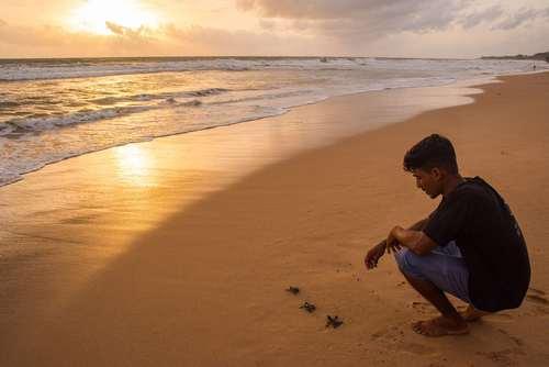 لاک پشت های تازه به دنیا آمده در حال عزیمت به سمت دریا – ساحل سریلانکا