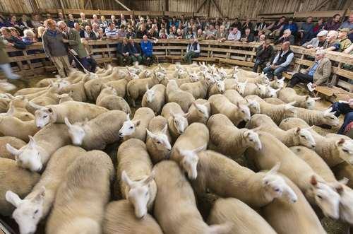 بزرگ ترین بازار خرید و فروش احشام در اروپا در اسکاتلند