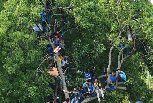 طرفداران سریلانکایی کریکت مشغول بازی تیم ملی کشورشان با هند از روی درختان مشرف به استادیوم کریکت در شهر دامبولا سریلانکا