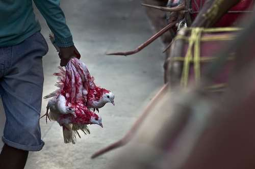 قربانی کردن پرندگان در جریان جشنواره آیینی