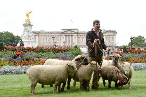 چرا دادن گوسفندها در