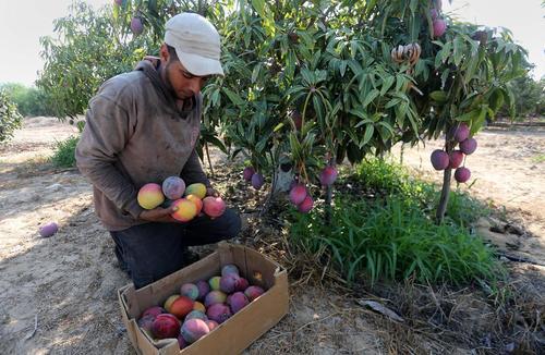 برداشت انبه از باغی در باریکه غزه