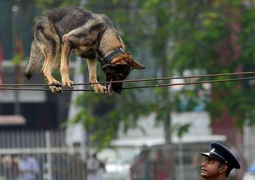 بندبازی یک سگ پلیس در مراسم روز پلیس در شهر کلمبو سریلانکا