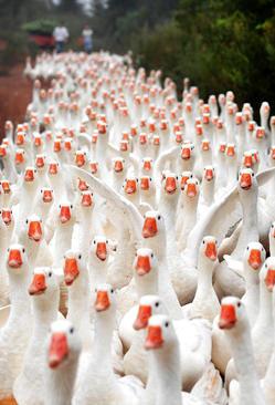 پرورش غازهای سفید در روستایی در چین