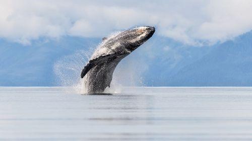 شنای یک وال در آب های آلاسکا