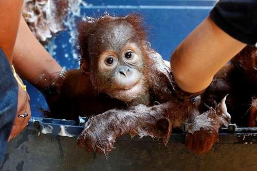 حمام گرفتن یک بچه آرانگوتان – تایلند