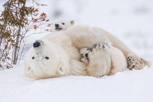 ماده خرس قطبی پارک ملی