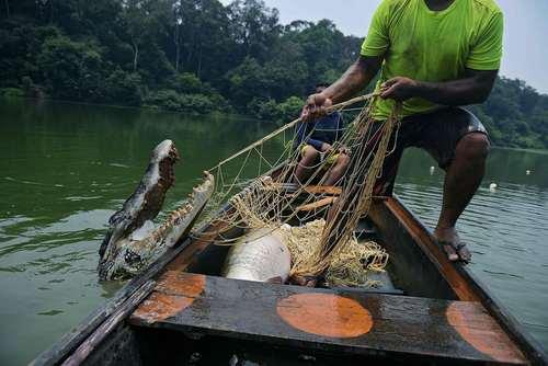 یک ماهیگیر برزیلی به جای ماهی، کردکودیل صید کرده است/ جنگل های آمازون برزیل