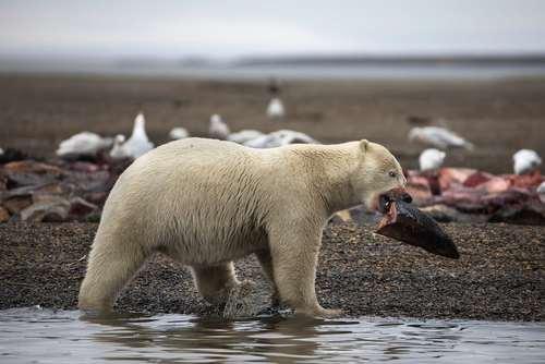 خرس قطبی در حال خوردن بقایای یک نهنگ عظیم – آلاسکا