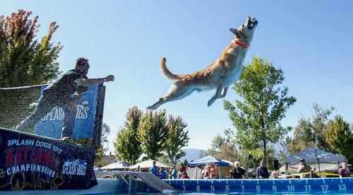 مسابقات سالانه قهرمانی سگ ها در گردندویل ایالت نوادا آمریکا