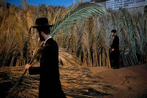 مردان یهودی در حال جمع آوری شاخه های نخل برای درست کردن کلبه موقت برای جشنواره آیینی