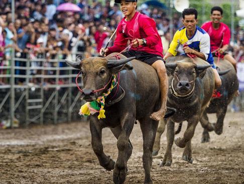 مسابقه دو سرعت 100 متر بوفالوها- تایلند