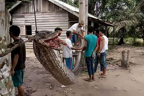 شکار یک مار پیتون عظیم 8 متری پس از حمله این مار به یک مرد روستایی در سوماترا اندونزی