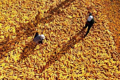 خشک کردن ذرت – چین