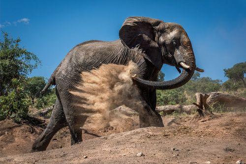 حمام شنی گرفتن یک فیل در یک پارک ملی در کشور بوتسوانا در جنوب آفریقا