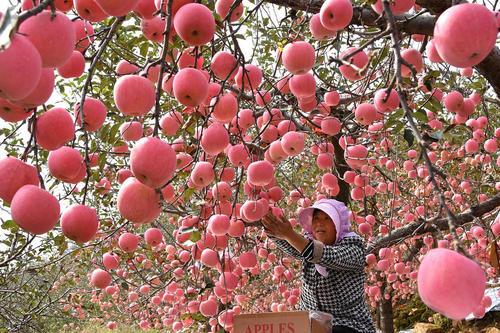 باغ سیب در شاندونگ چین