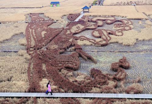 نقاشی های سه بعدی روی شالیزارهای برنج در شنیانگ چین