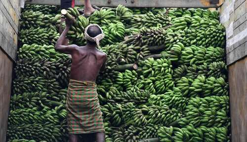 چیدن موز در کامیون برای حمل به بازار – هند