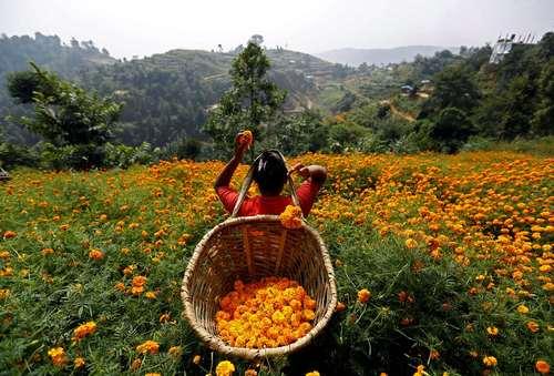 جمع کردن گل – کاتماندو نپال