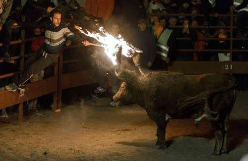 زدن گوی های آتشین به شاخ گاو در جریان جشنواره ای در اسپانیا