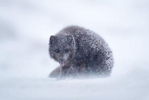 روباه قطبی- عکس روز وب سایت
